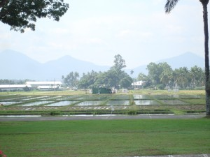 rice fields at the university